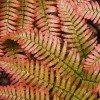 Dryopteris erythrosora (Copper shield fern)