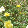 Rosa 'Golden Showers' (Rose 'Golden Showers')