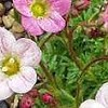 Saxifraga 'Winston Churchill'