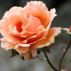 Rosa 'Just Joey' (Rose 'Just Joey')