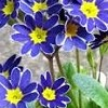 Primula 'Blue Lace Mary'