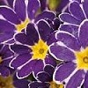 Primula 'Purple Lace Emmy'