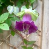 Cobaea scandens (Cup and saucer vine)
