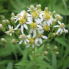 Doellingeria umbellata (Flat-topped aster)
