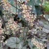 Heuchera 'Silver Duke' (Alum root 'Silver Duke')