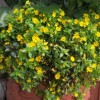 Mecardonia 'Early Yellow' (Axilflower 'Early Yellow')