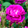 Rosa 'William Lobb' (Rose 'William Lobb')
