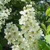Prunus padus (Bird cherry)