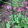 Astrantia 'Hadspen Blood' (Masterwort 'Hadspen Blood')