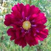 Cosmos bipinnatus 'Double Click Cranberries' (Cosmea 'Double Click Cranberries')