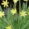Sisyrinchium californicum Brachypus Group (Golden-eyed grass Brachypus Group)