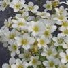 Saxifraga 'Touran Early Lime' (x arendsii)
