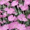 Dianthus nitidus (Carpathian glossy pink)
