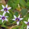 Sisyrinchium micranthum  (Blue pigroot)