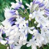 Agapanthus 'Twister' (African lily 'Twister')