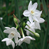 Narcissus papyraceus (Paper-white daffodil)
