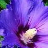 Rose mallow 'Ardens' (Hibiscus syriacus 'Ardens')