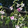 Nicotiana Whisper Mix