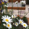 Leucanthemum vulgare 'Maikonigin' (Ox-eye daisy 'Maikonigin')