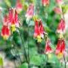 Aquilegia 'Rhubarb and Custard' (Columbine 'Rhubarb and Custard')