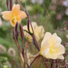Oenothera 'Apricot Delight'