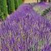 Lavandula 'Richard Gray' (Lavender 'Richard Gray')