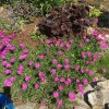 Osteospermum 'In the Pink' (African daisy 'In the Pink')