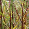 Salix purpurea 'Nancy Saunders' (Purple willow 'Nancy Saunders')