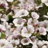Gypsophila 'Pixie Splash' (Baby's breath 'Pixie Splash')