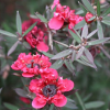 Leptospermum scoparium 'Red Damask' (Tea tree 'Red Damask')