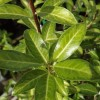 Pittosporum tenuifolium 'Limelight' (Pittosporum 'Limelight')