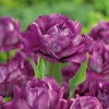 Tulipa 'Blue Spectacle' (Tulip 'Blue Spectacle')