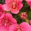 Saxifraga (Impressio Group) 'Claude Monet'