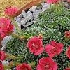Saxifraga (Impressio Group) 'Claude Monet' (Saxifrage 'Claude Monet')