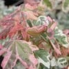 Acer campestre 'Carnival' (Variegated field maple)