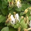 Lonicera japonica 'Halliana' (Hall's Japanese honeysuckle)