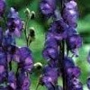 Aconitum napellus 'Blue Valley'