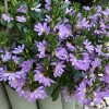 Scaevola 'Surdiva Blue' (Fairy fan flower 'Surdiva Blue')