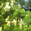 Lonicera periclymenum 'Graham Thomas' (Honeysuckle 'Graham Thomas')