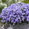 Campanula 'Spring Bell Blue' (Fairy thimbles 'Spring Bell Blue')