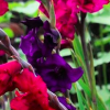 Gladiolus 'Purple Flora' (Sword lily 'Purple Flora')