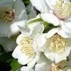 Philadelphus 'Snowgoose'