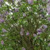 Syringa vulgaris 'Katherine Havemeyer' (Lilac 'Katherine Havemeyer')
