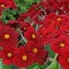Primula 'Stella Regal Red' (Stella Series)