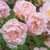 Rosa 'The Lady of the Lake' (Rose 'The Lady of the Lake')