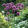 Allium stipitatum 'Violet Beauty' (Persian shallot 'Violet Beauty')