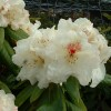 Rhododendron 'Harvest Moon' (Rhododendron 'Harvest Moon')