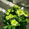 Chrysanthemum 'Froggy'