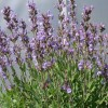 Salvia lavandulifolia (Lavender-leaved sage)
