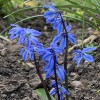 Scilla siberica 'Spring Beauty' (Siberian squill 'Spring Beauty')